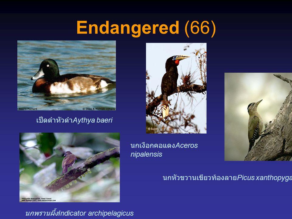 Endangered (66) เป็ดดำหัวดำAythya baeri นกเงือกคอแดงAceros nipalensis