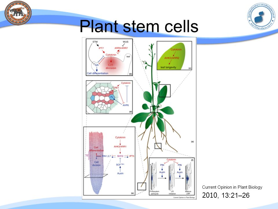 Plant stem cells Current Opinion in Plant Biology 2010, 13:21–26