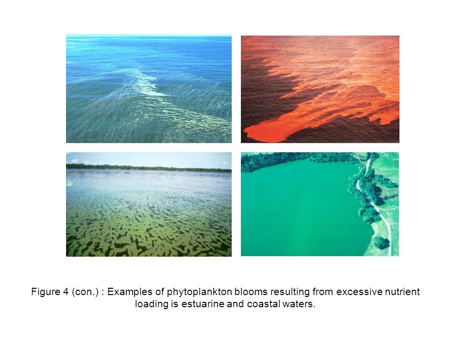 Figure 4 (con.) : Examples of phytoplankton blooms resulting from excessive nutrient loading is estuarine and coastal waters.