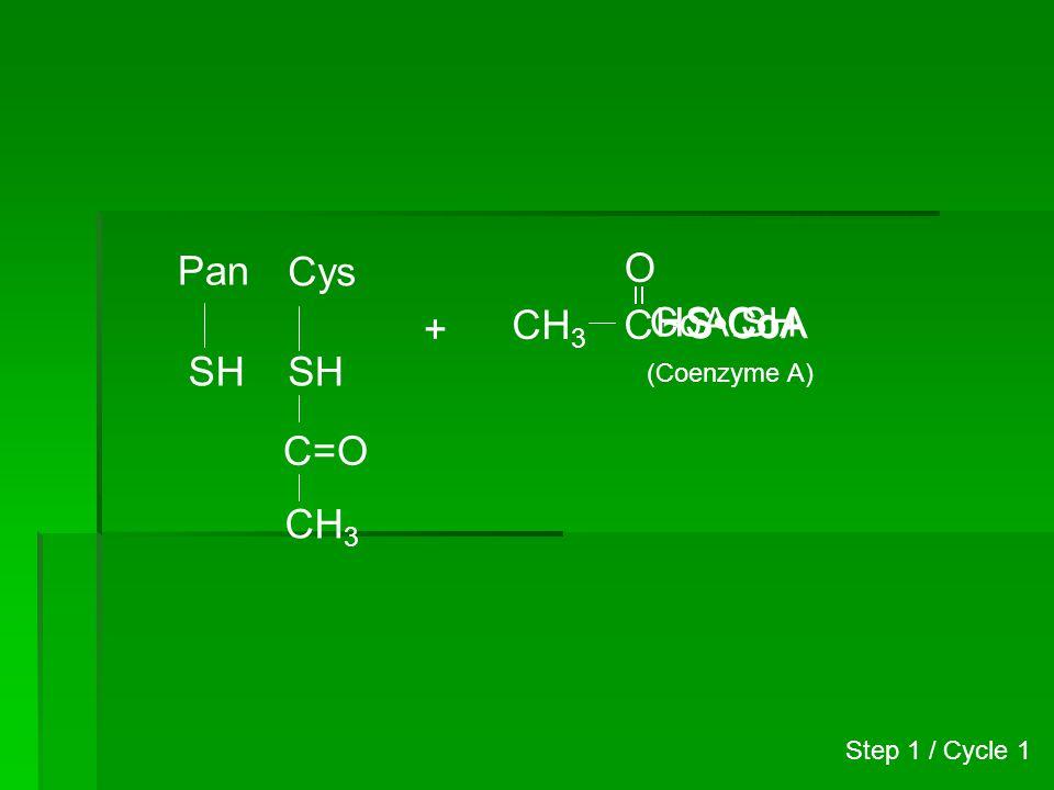 Pan Cys CH3 C O HS•CoA CoA.SH + ~S•CoA SH S H C=O CH3 (Coenzyme A)