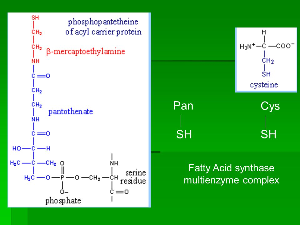 Fatty Acid synthase multienzyme complex