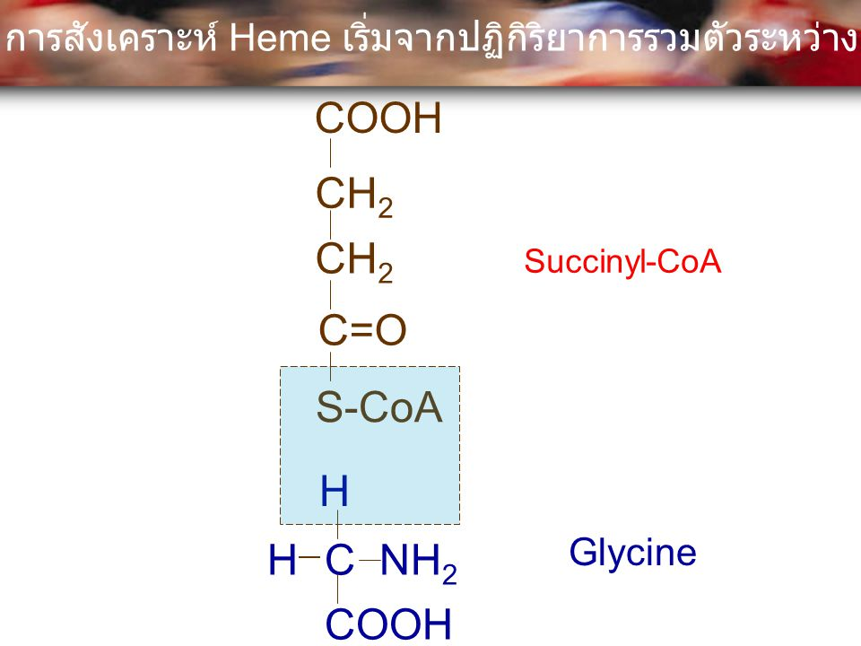 COOH CH2 CH2 C=O S-CoA H H C NH2 COOH