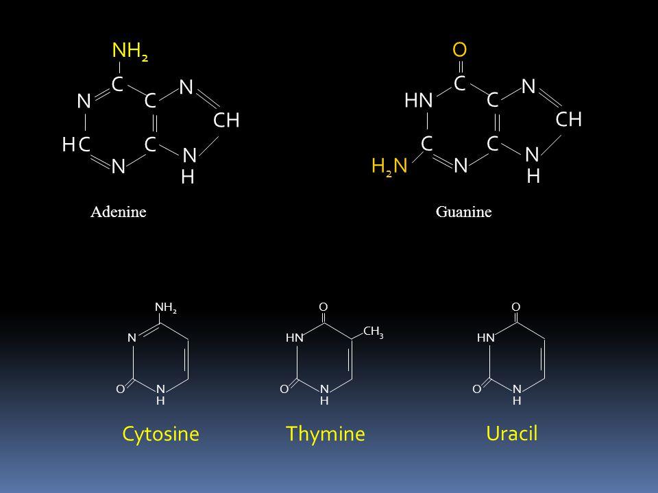 C N CH NH2 H C HN N CH H2N O Cytosine Thymine Uracil H Adenine Guanine