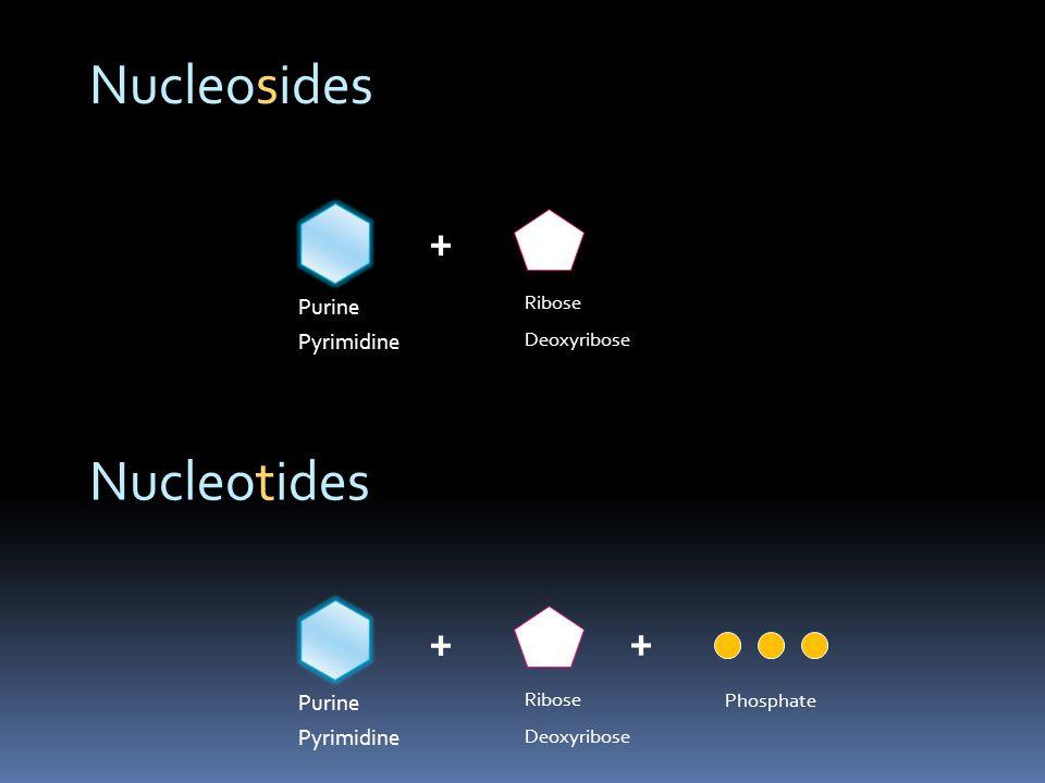 Nucleosides Nucleotides + + + Purine Pyrimidine Purine Pyrimidine