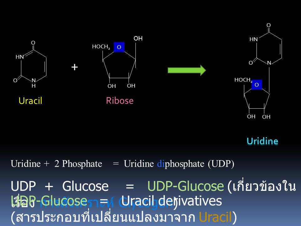 O OH. HN. N. HOCH2. O. HOCH2. OH. Ribose. HN. N. Uracil. O. H. + Uridine. Uridine + 2 Phosphate = Uridine diphosphate (UDP)