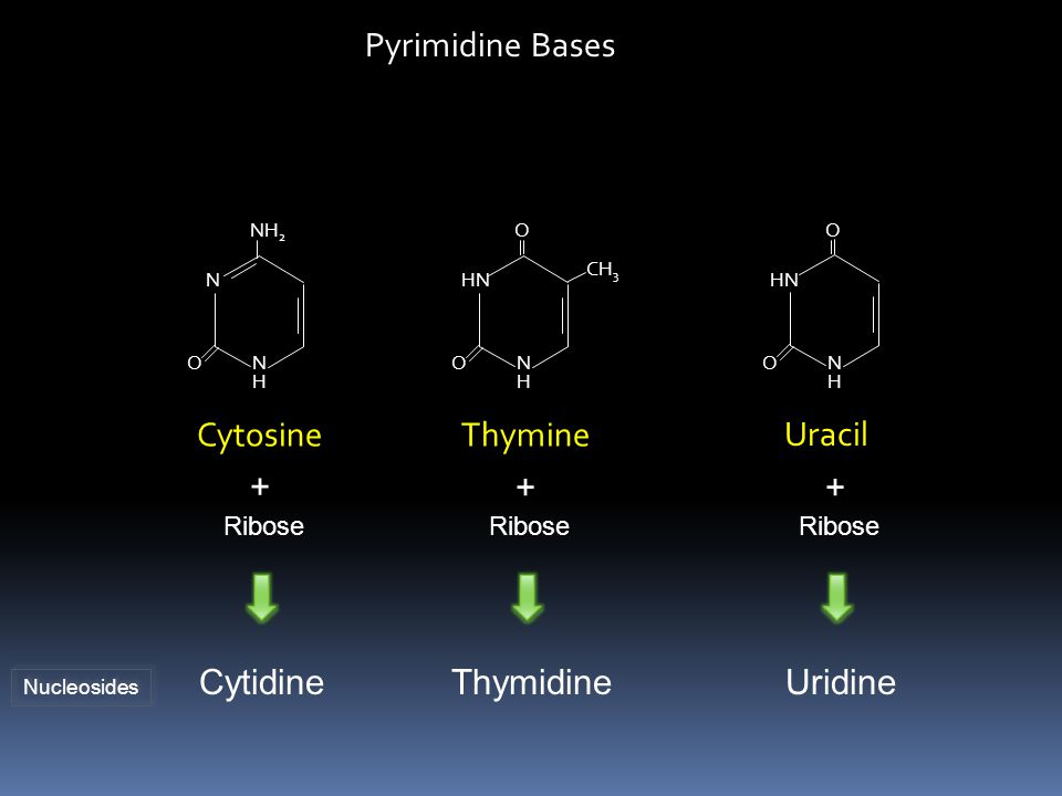 Pyrimidine Bases Cytosine Thymine Uracil + + + Cytidine Thymidine