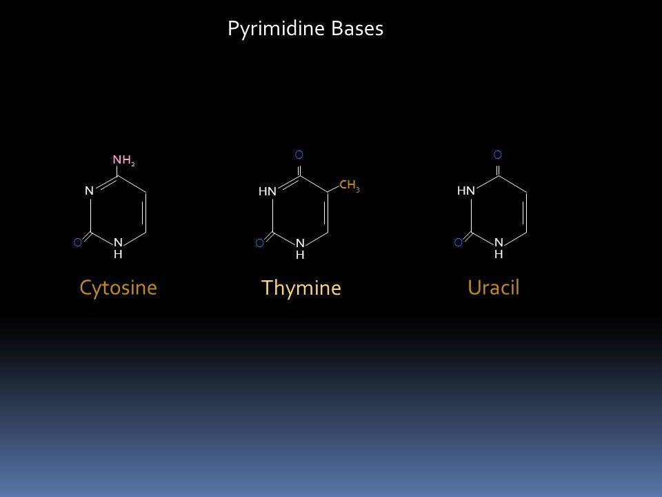 Pyrimidine Bases Thymine Uracil Cytosine HN N O H CH3 HN N O H N NH2 H