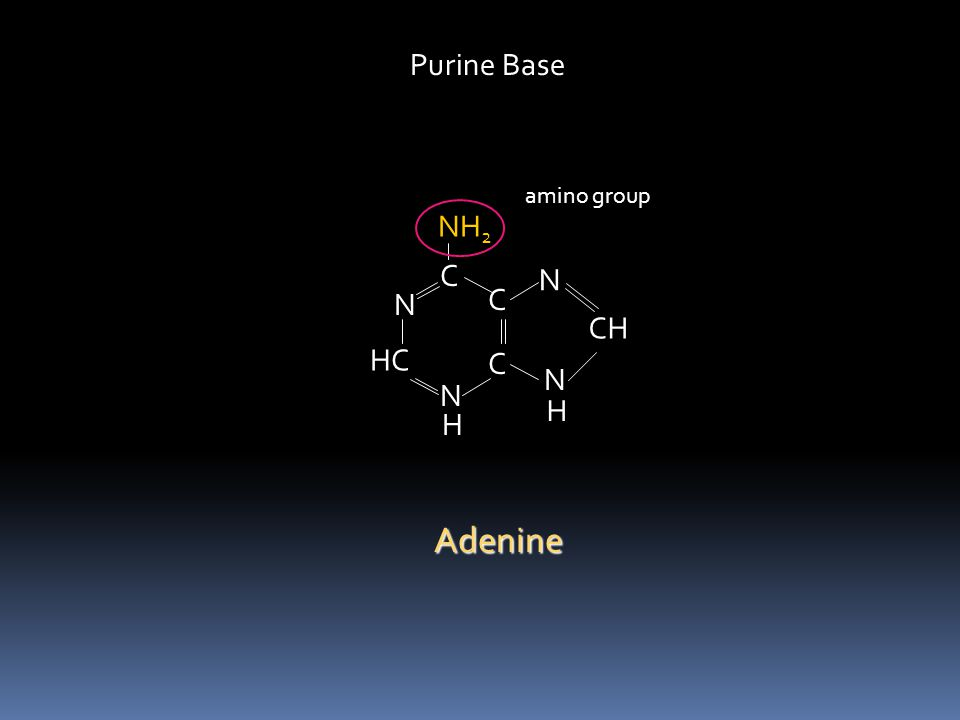 Purine Base amino group NH2 C N N C CH HC C N N H H Adenine