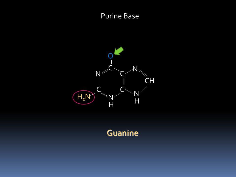 Purine Base O C N N C CH C C N H2N N H H Guanine