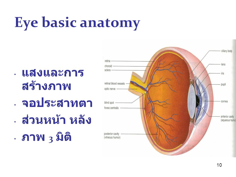 Eye basic anatomy แสงและการสร้างภาพ จอประสาทตา ส่วนหน้า หลัง