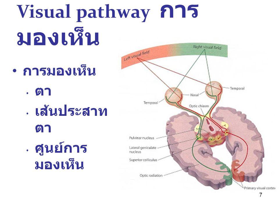 Visual pathway การมองเห็น