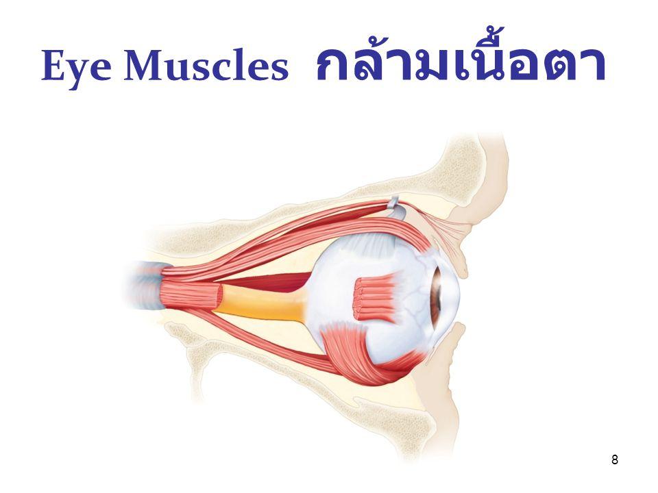 Eye Muscles กล้ามเนื้อตา