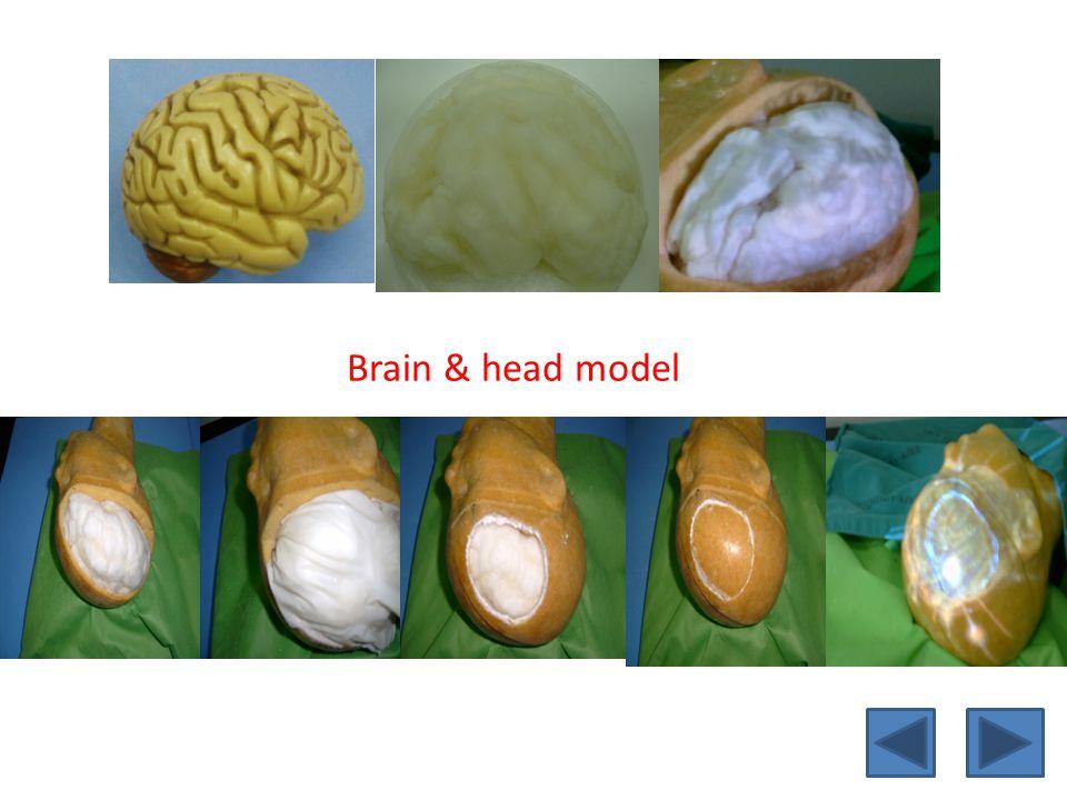 Brain & head model