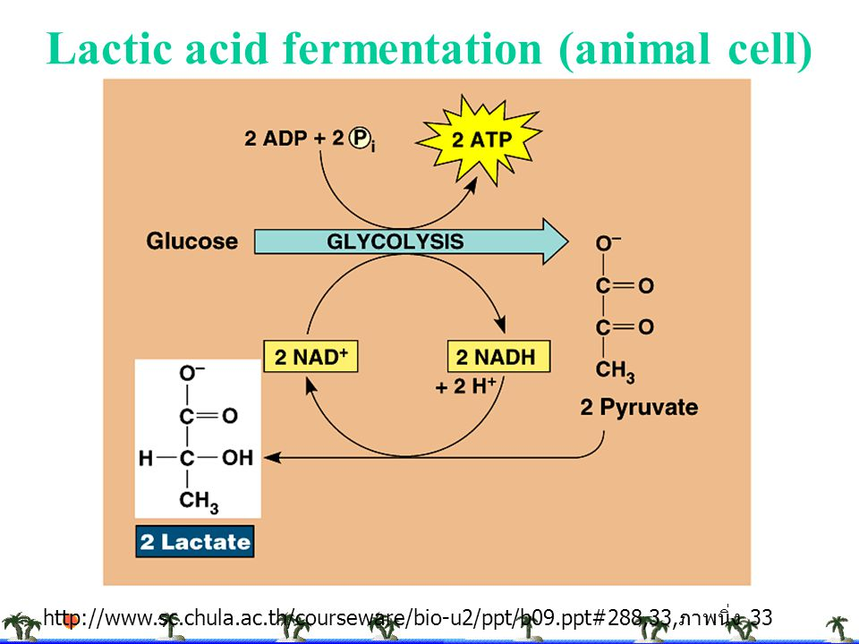 Lactic acid fermentation (animal cell)