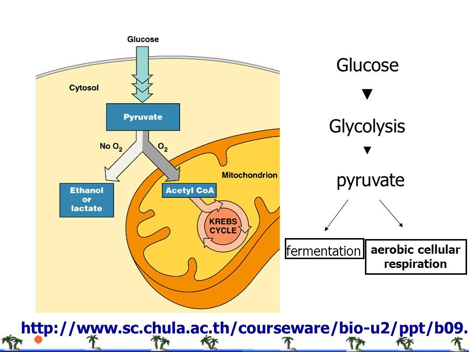 Glucose Glycolysis pyruvate ▼