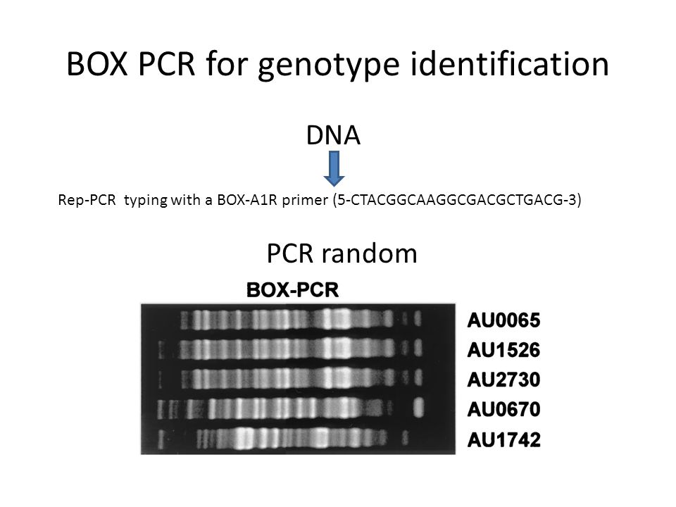 BOX PCR for genotype identification