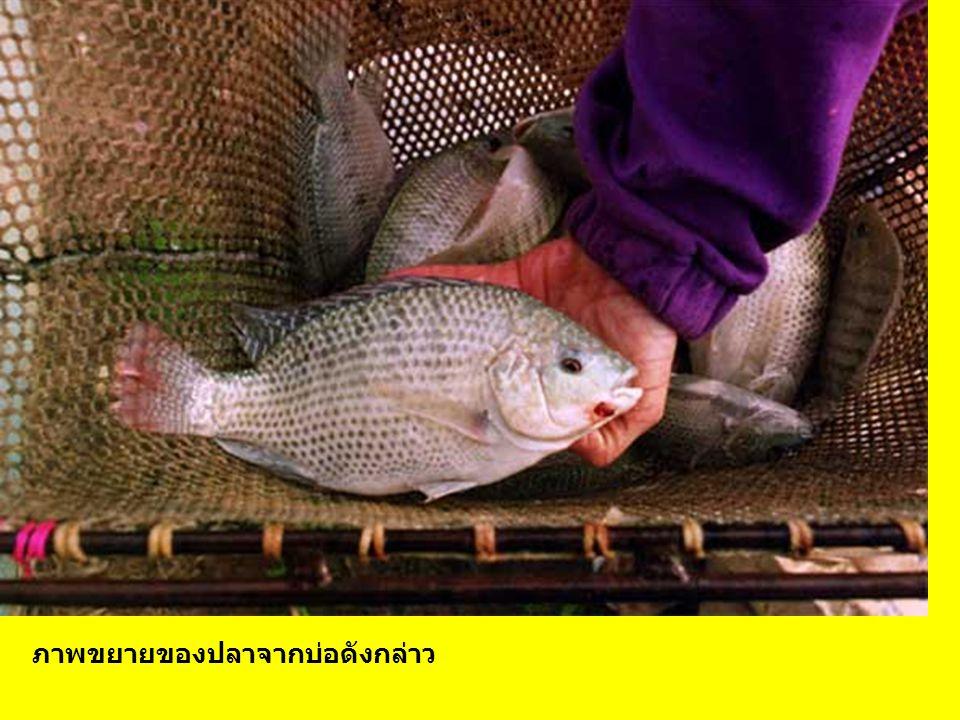 ภาพขยายของปลาจากบ่อดังกล่าว