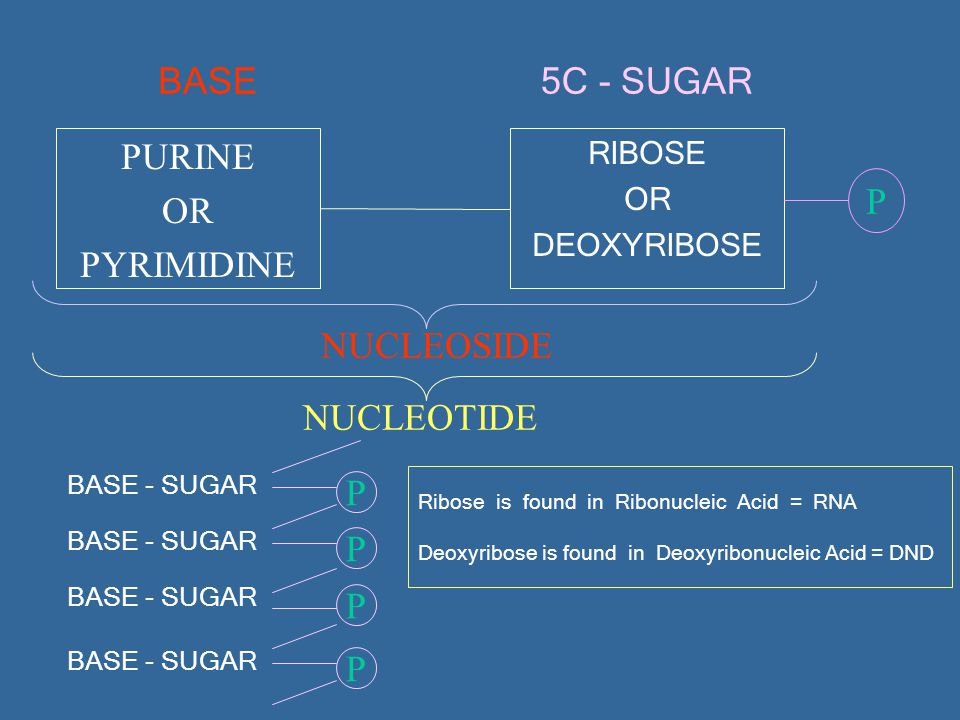 5C - SUGAR BASE PURINE OR P PYRIMIDINE NUCLEOSIDE NUCLEOTIDE P P P P