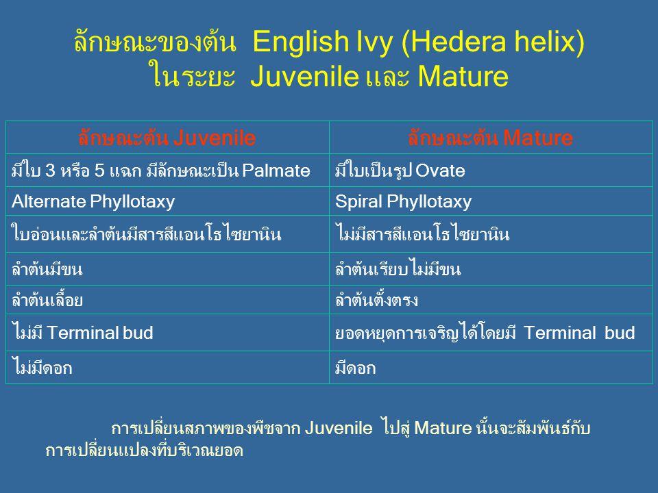 ลักษณะของต้น English Ivy (Hedera helix) ในระยะ Juvenile และ Mature