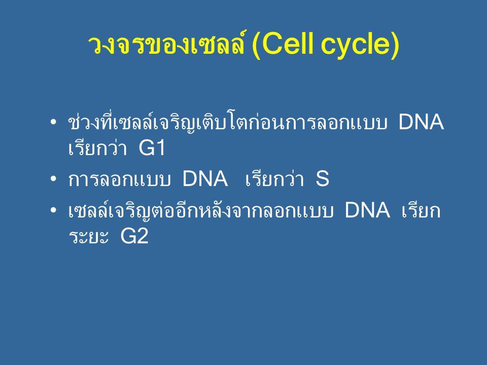 วงจรของเซลล์ (Cell cycle)
