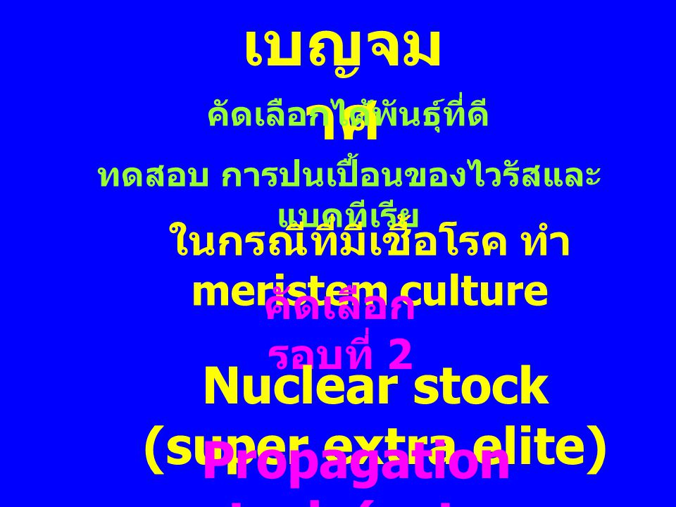 เบญจมาศ Nuclear stock (super extra elite)