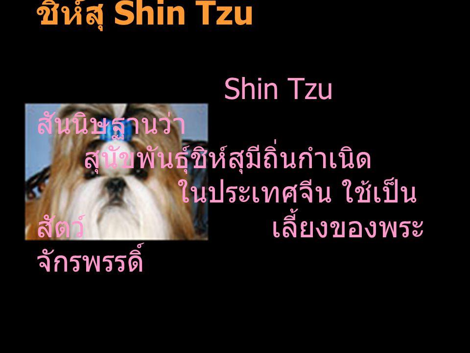 ชิห์สุ Shin Tzu. Shin Tzu สันนิษฐานว่า. สุนัขพันธุ์ชิห์สุมีถิ่นกำเนิด