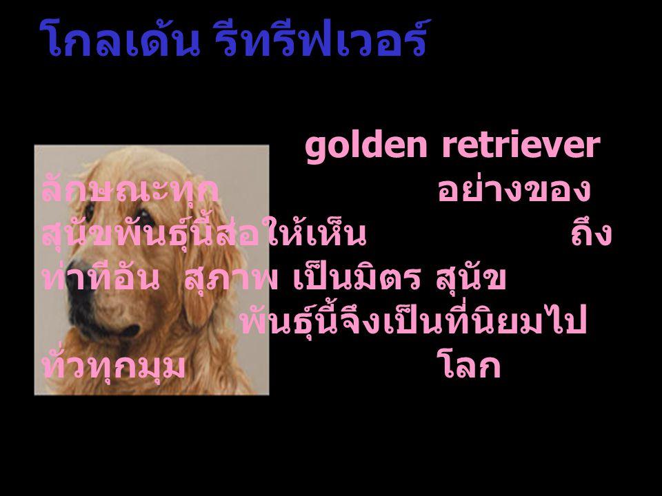 โกลเด้น รีทรีฟเวอร์. golden retriever ลักษณะทุก