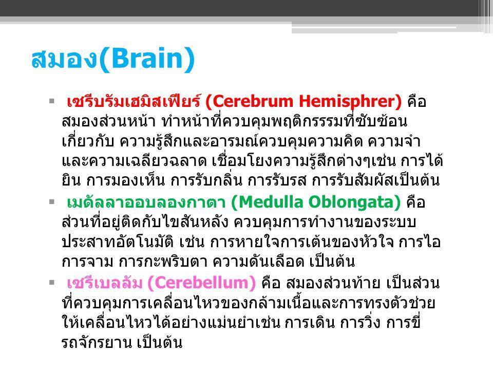 สมอง(Brain)