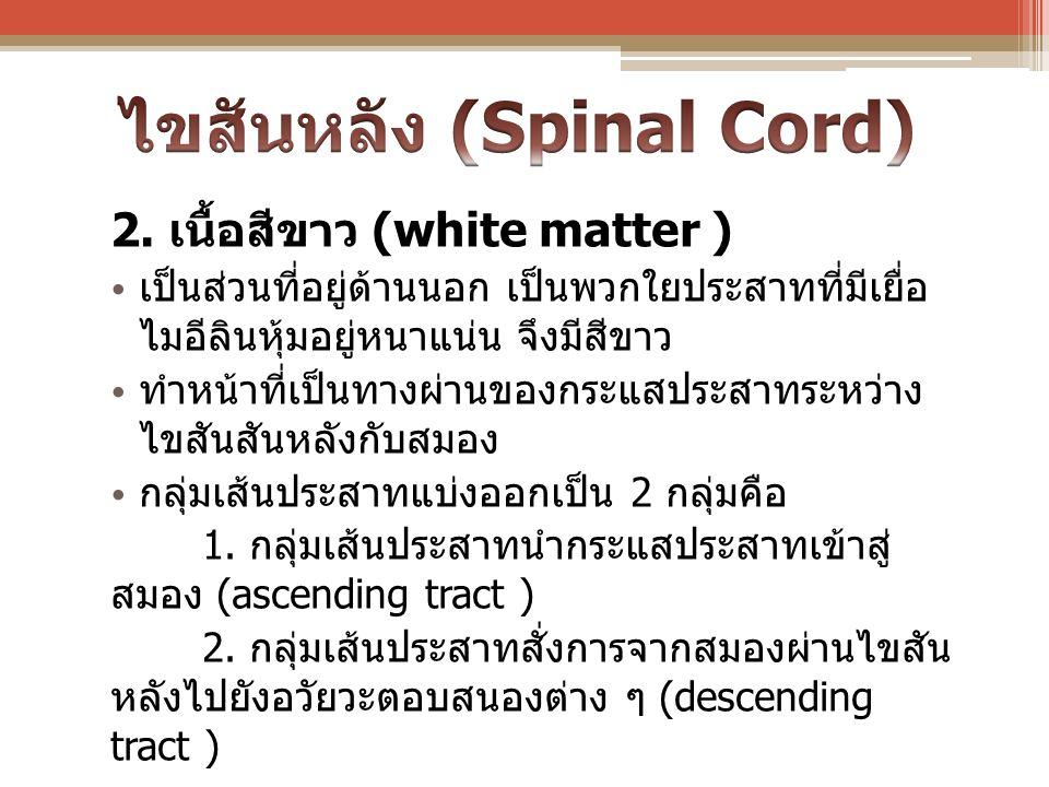 ไขสันหลัง (Spinal Cord)