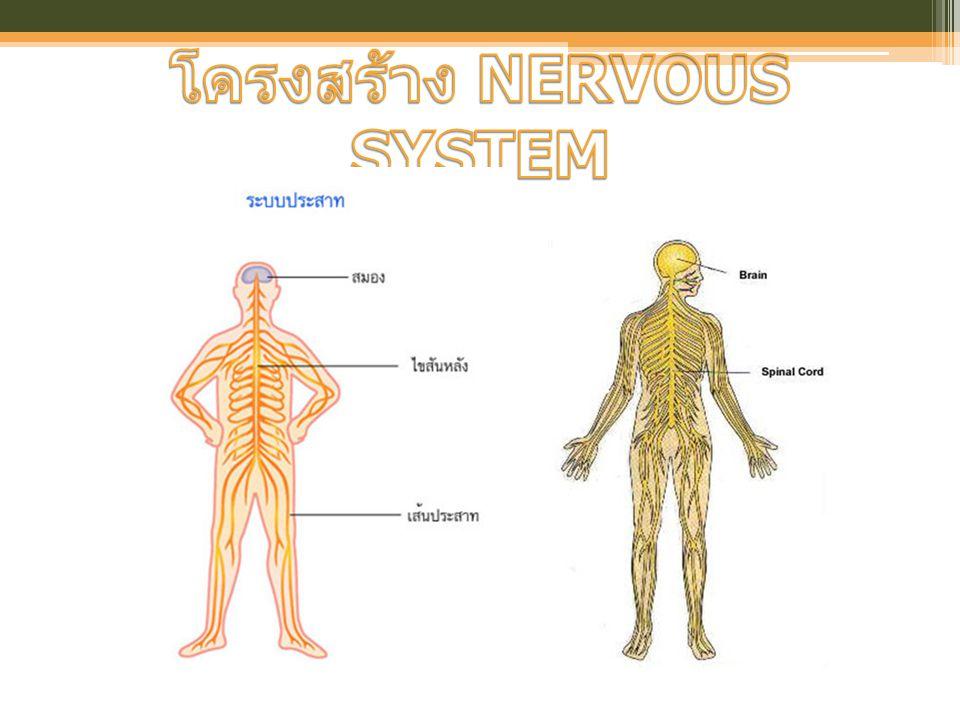 โครงสร้าง NERVOUS SYSTEM