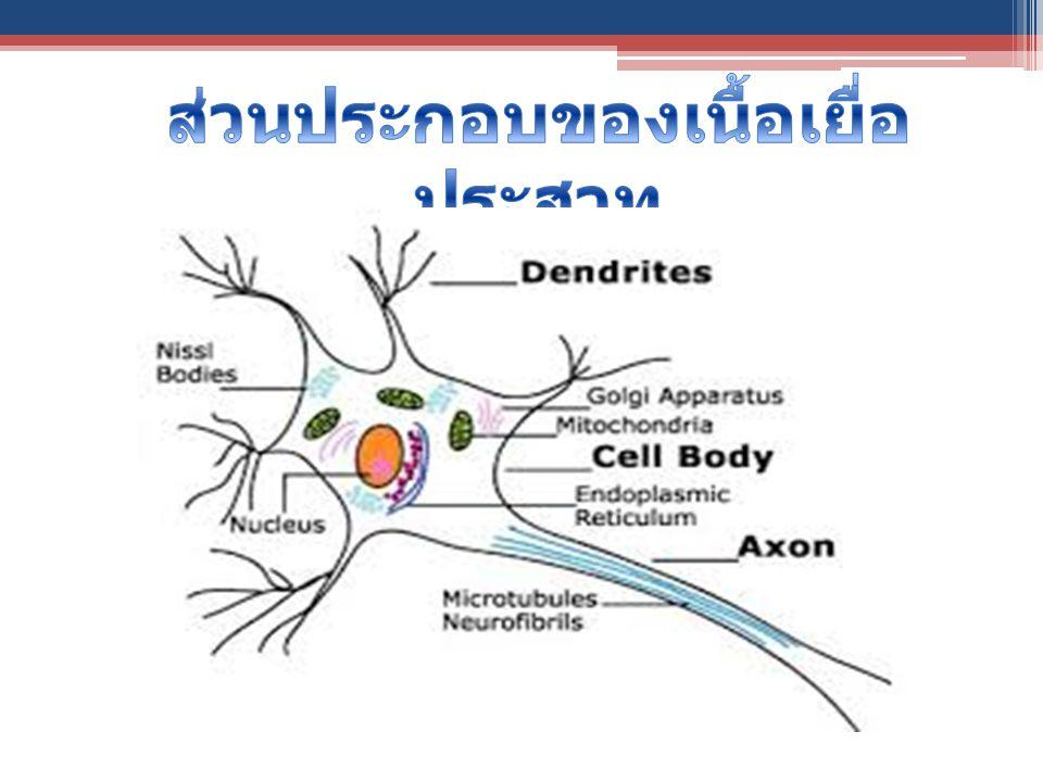 ส่วนประกอบของเนื้อเยื่อประสาท