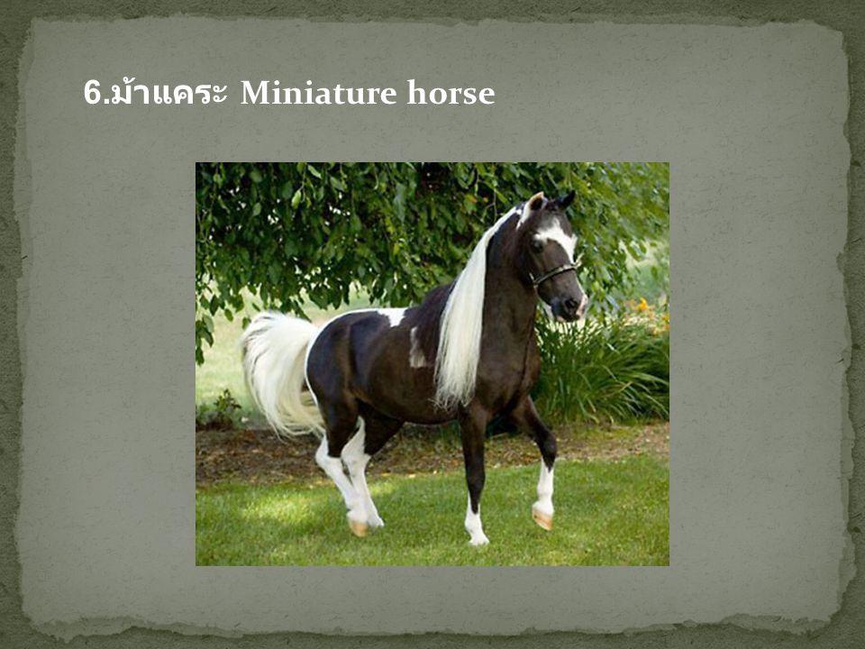 6.ม้าแคระ Miniature horse