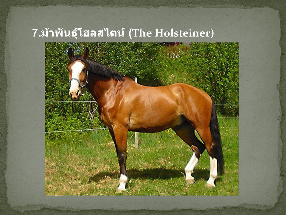 7.ม้าพันธุ์โฮลสไตน์ (The Holsteiner)
