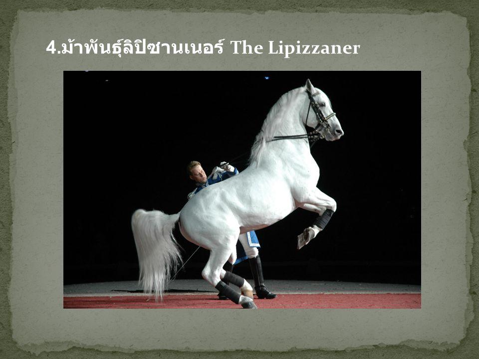 4.ม้าพันธุ์ลิปิซานเนอร์ The Lipizzaner