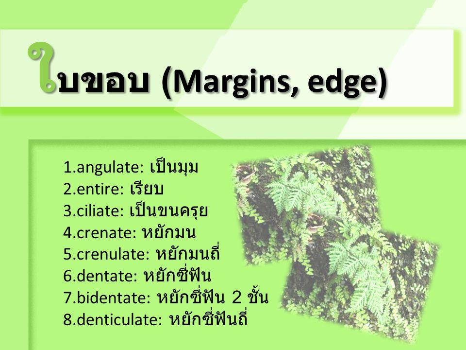 ใบขอบ (Margins, edge) 1.angulate: เป็นมุม 2.entire: เรียบ