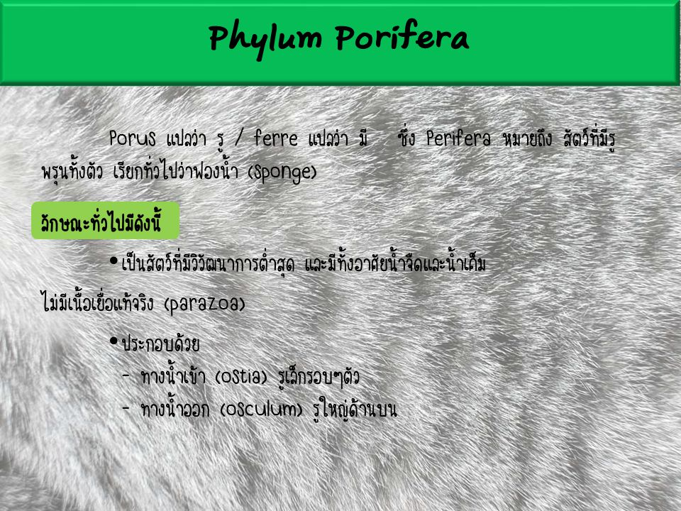 Phylum Porifera Porus แปลว่า รู / ferre แปลว่า มี ซึ่ง Perifera หมายถึง สัตว์ที่มีรูพรุนทั้งตัว เรียกทั่วไปว่าฟองน้ำ (sponge)