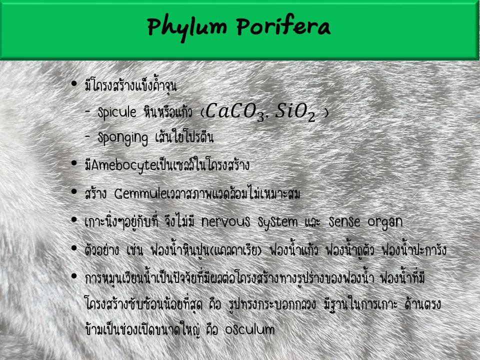 Phylum Porifera มีโครงสร้างแข็งค้ำจุน - spicule หินหรือแก้ว ( 𝐶𝑎𝐶𝑂 3 , 𝑆𝑖𝑂 2 ) - sponging เส้นใยโปรตีน.