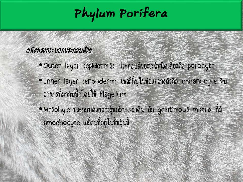 Phylum Porifera ผนังทรงกระบอกประกอบด้วย