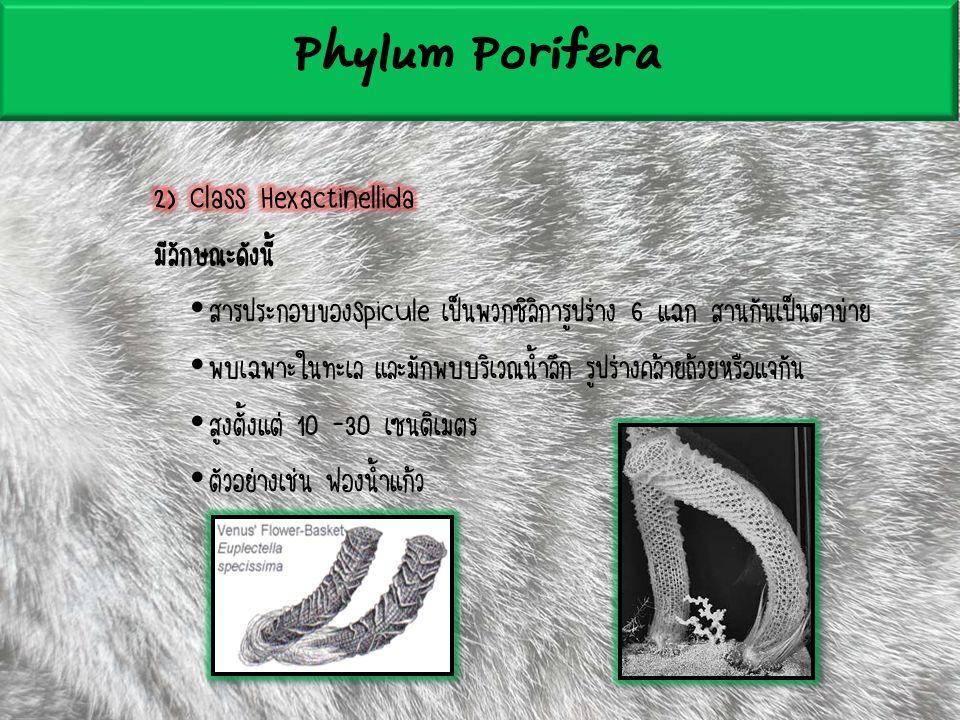 Phylum Porifera 2) Class Hexactinellida มีลักษณะดังนี้