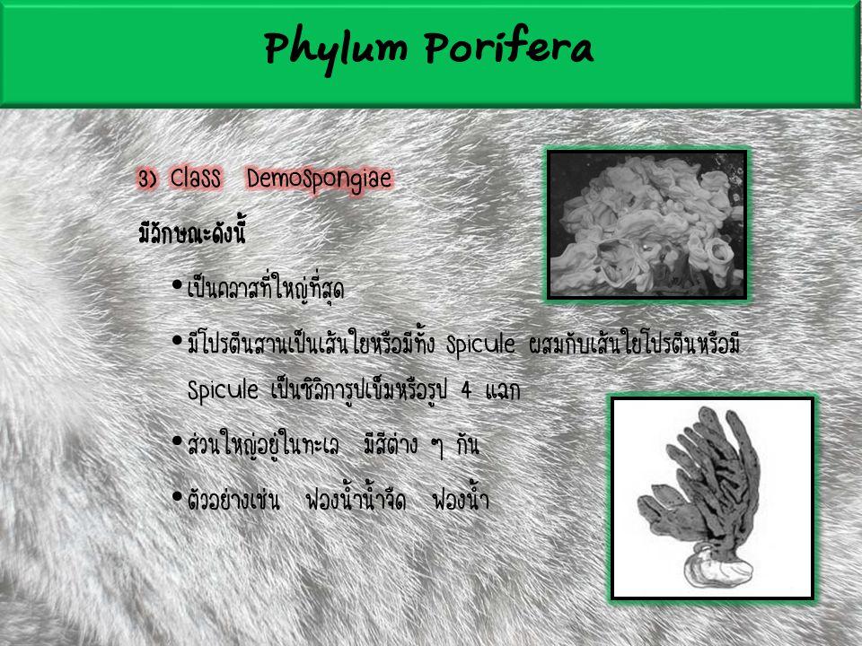 Phylum Porifera 3) Class Demospongiae มีลักษณะดังนี้