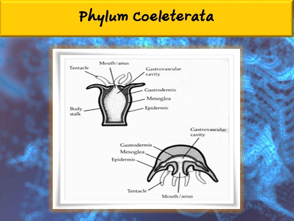 Phylum Coeleterata