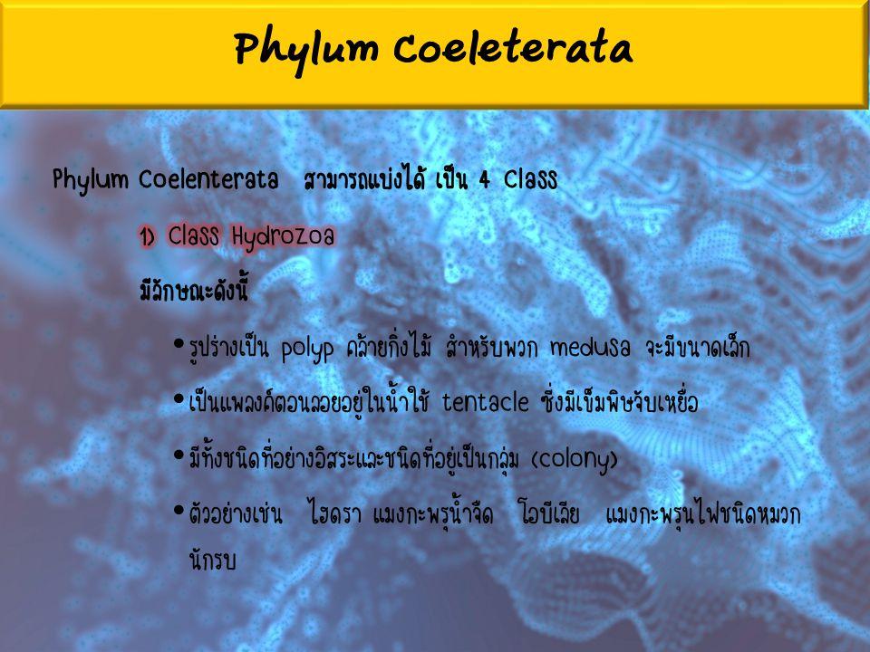 Phylum Coeleterata Phylum Coelenterata สามารถแบ่งได้ เป็น 4 Class