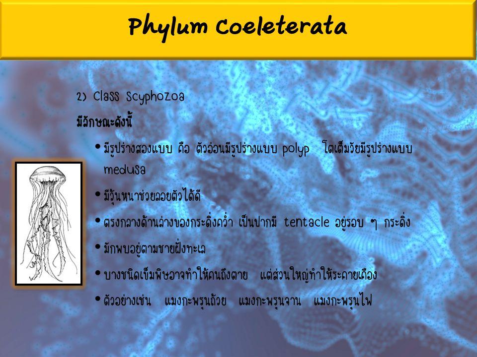 Phylum Coeleterata 2) Class Scyphozoa มีลักษณะดังนี้