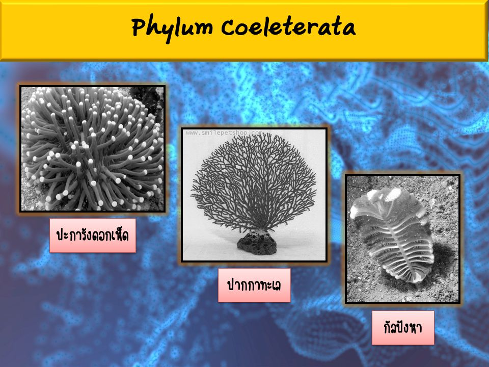 Phylum Coeleterata ปะการังดอกเห็ด ปากกาทะเล กัลปังหา