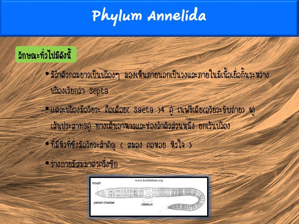 Phylum Annelida ลักษณะทั่วไปมีดังนี้