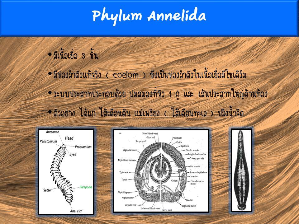 Phylum Annelida มีเนื้อเยื่อ 3 ชั้น