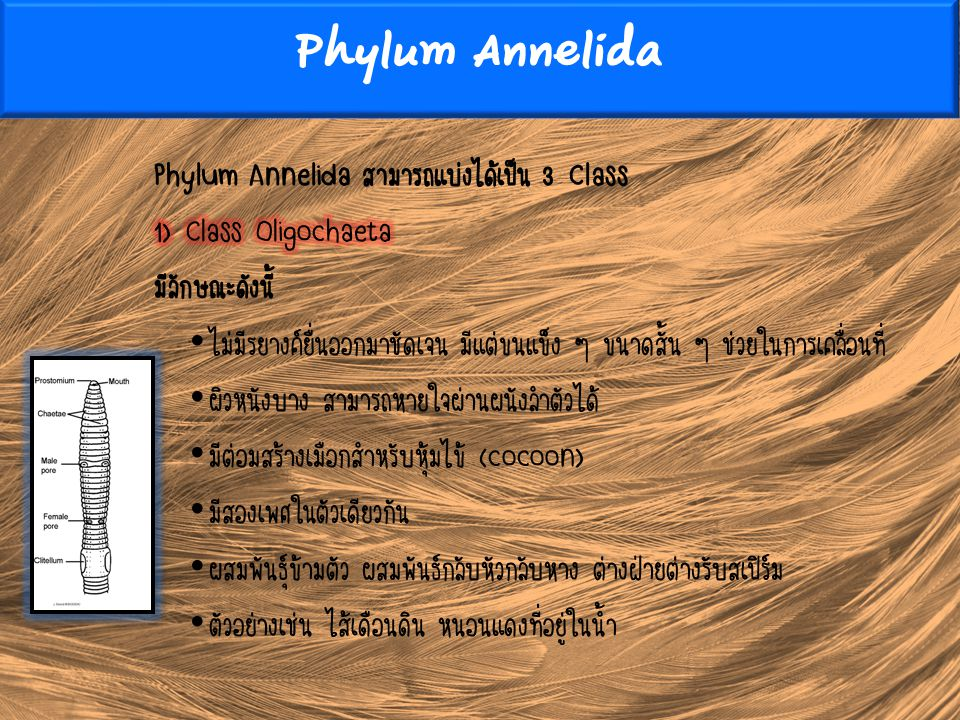 Phylum Annelida Phylum Annelida สามารถแบ่งได้เป็น 3 Class