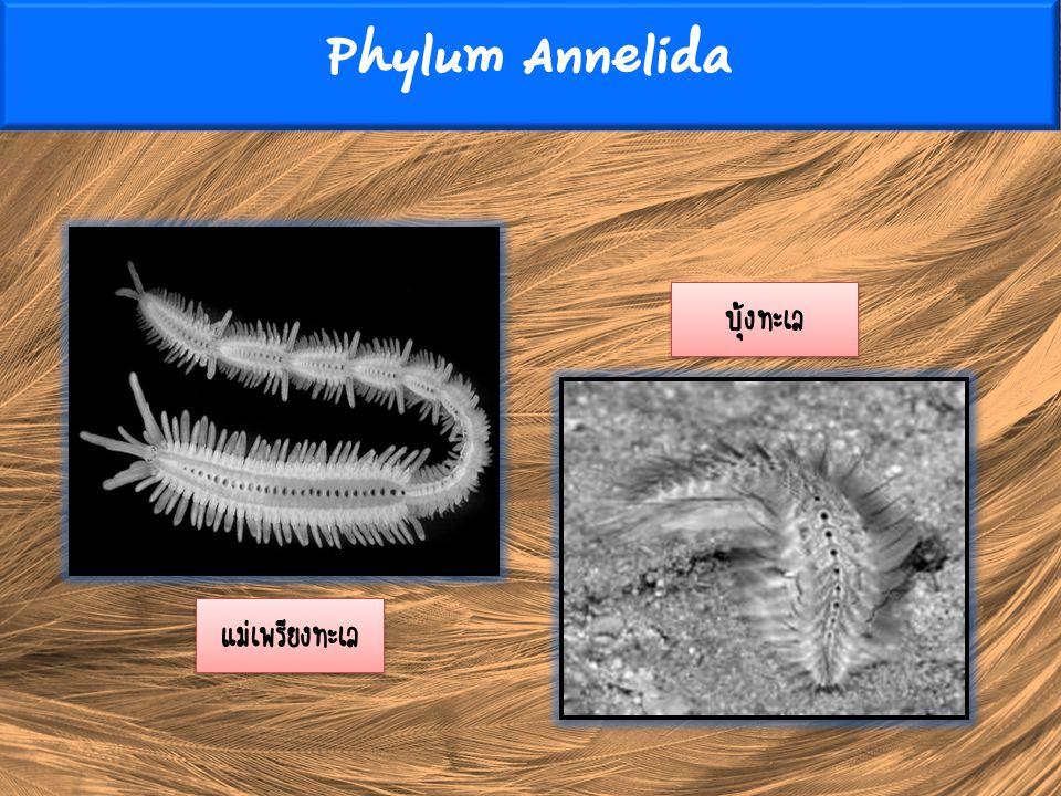 Phylum Annelida บุ้งทะเล แม่เพรียงทะเล
