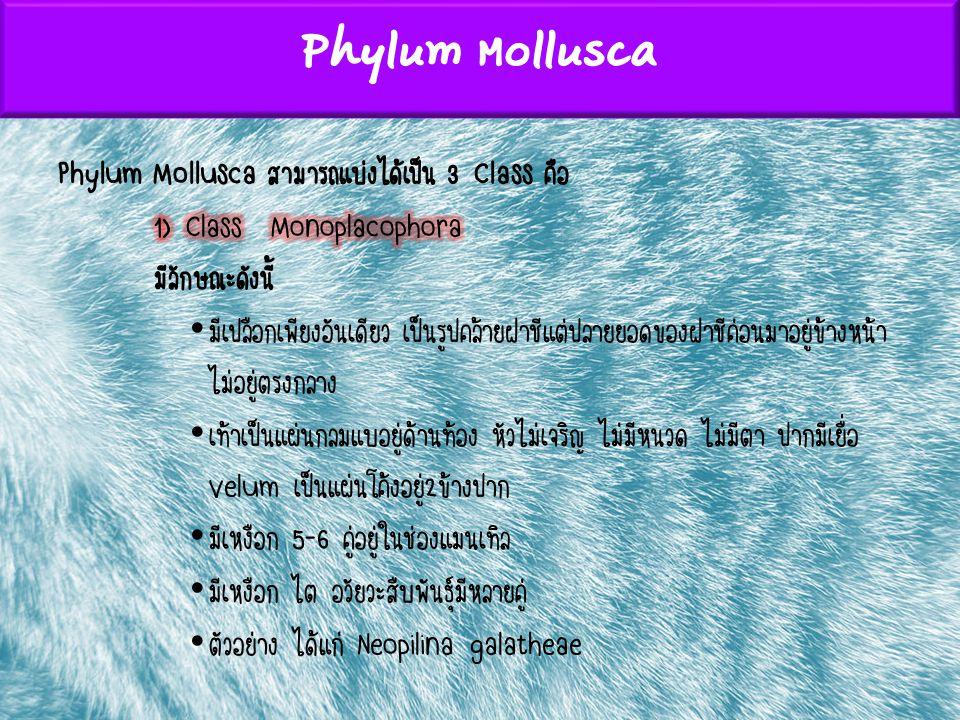 Phylum Mollusca Phylum Mollusca สามารถแบ่งได้เป็น 3 Class คือ