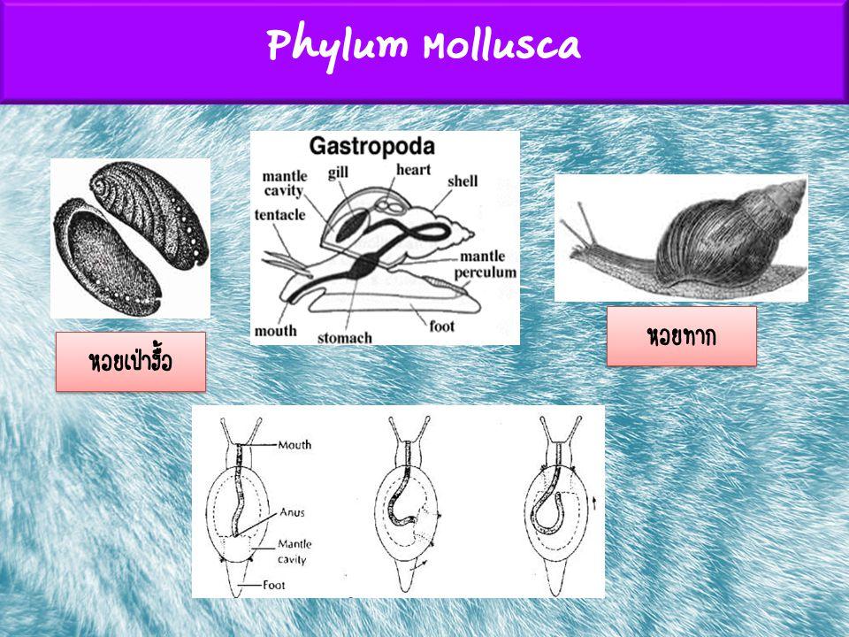 Phylum Mollusca หอยทาก หอยเป่าฮื้อ